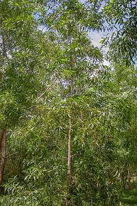Darwin black wattle, Acacia auriculiformis, a nonnative species in Guam and CNMI.