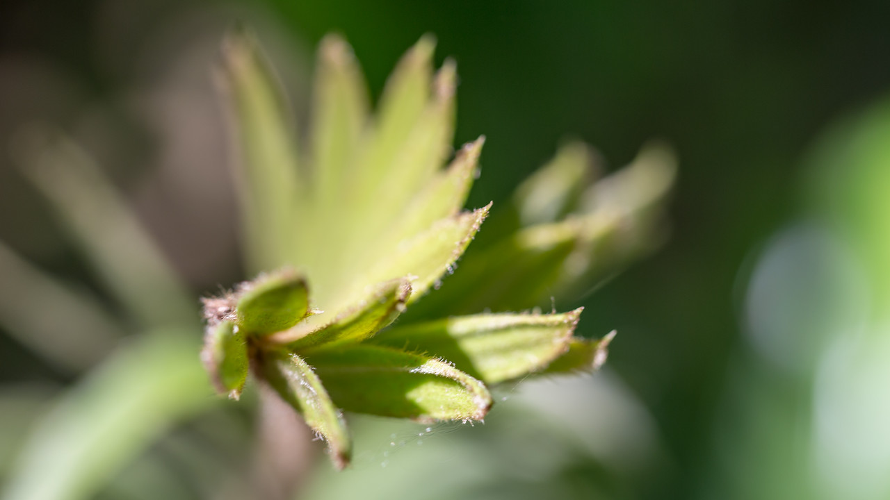 Natal cycad, Encephalartos natalensis, a cultivated cycad in Hawai`i, this one growing at Foster Botanical Garden, Honolulu, O`ahu, Hawai`i