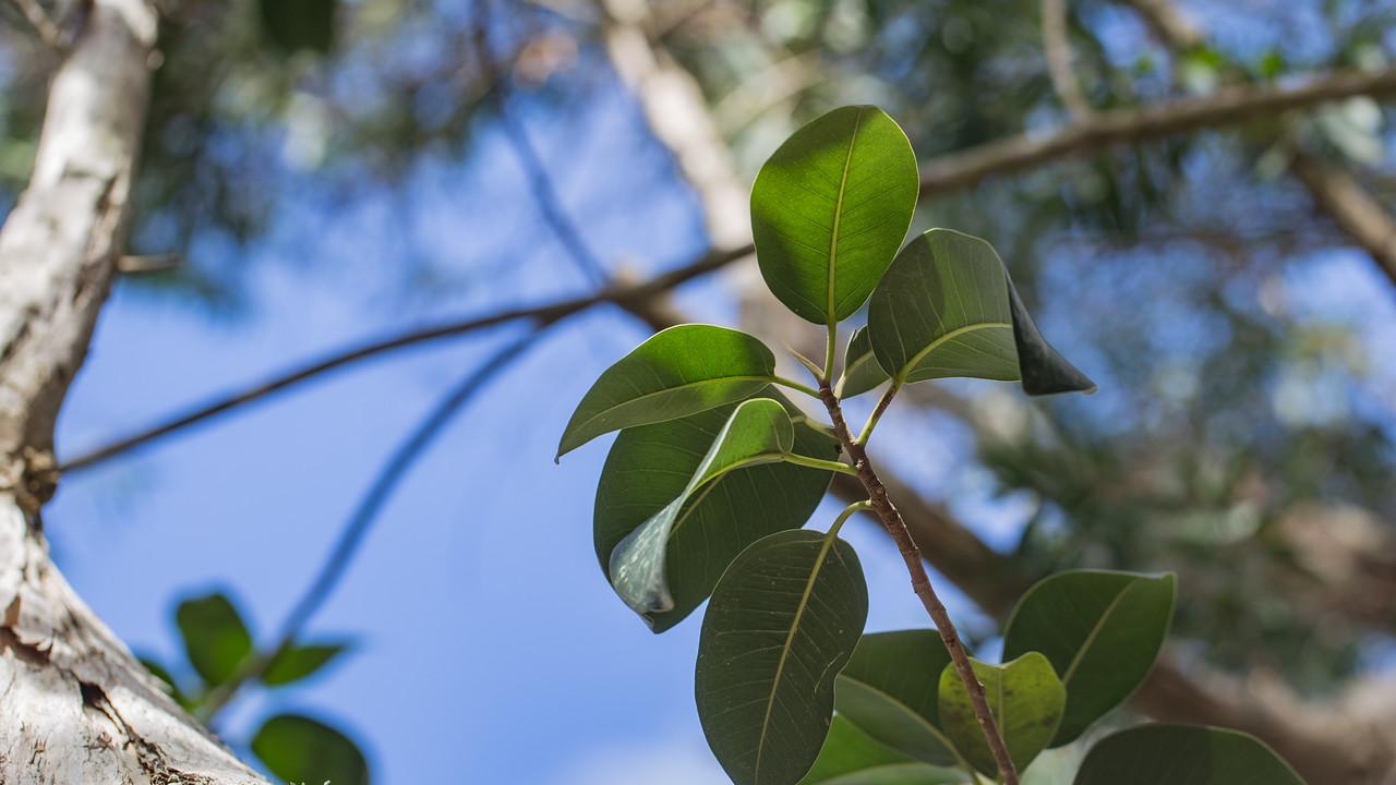 Australian fig, Ficus platypoda, a nonnative plant in Hawai`i