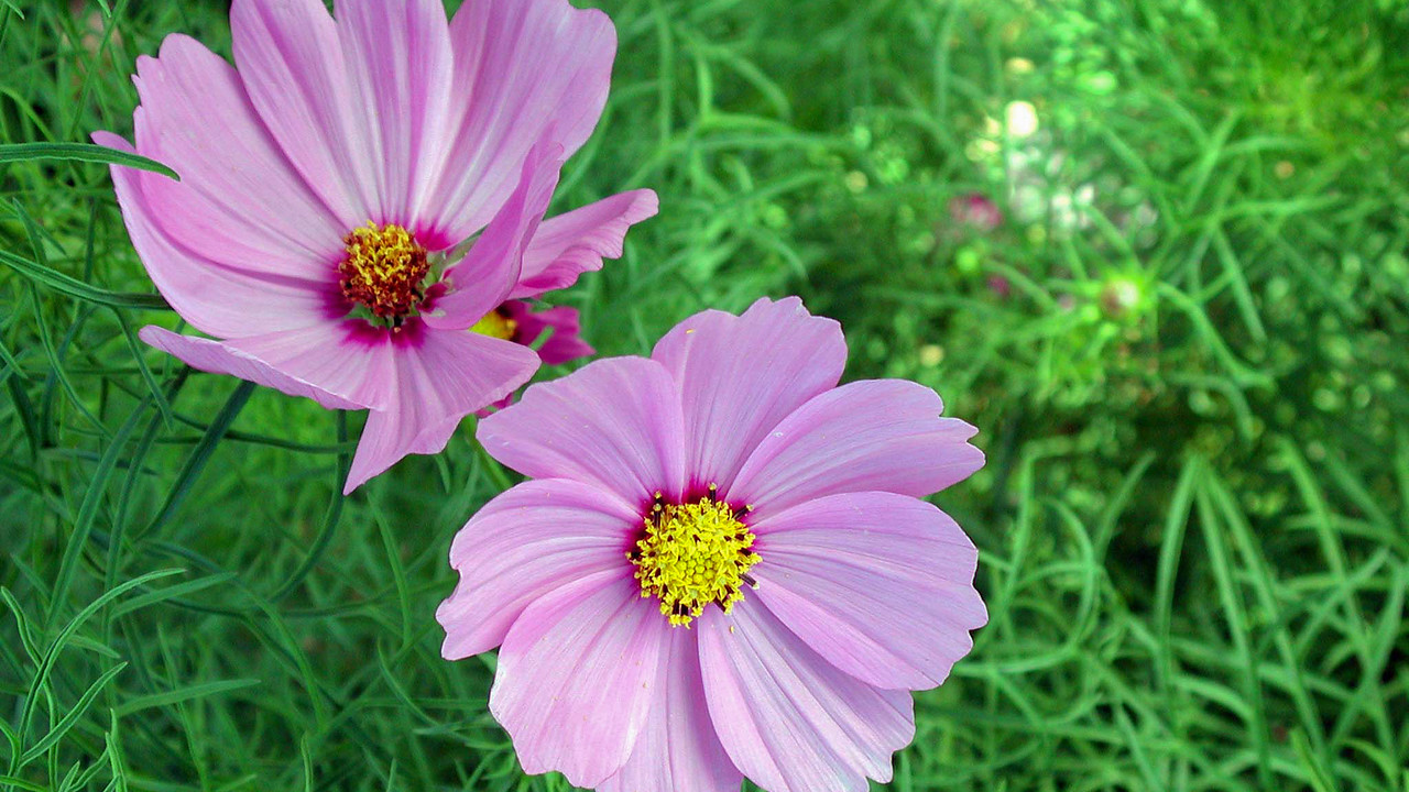 Cosmos, Cosmos bipinnatus, a cultivated plant in Hawaii.