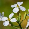 Rat-tail radish, Raphanus sativus var. caudatus, a cultivated radish in Hawai`i