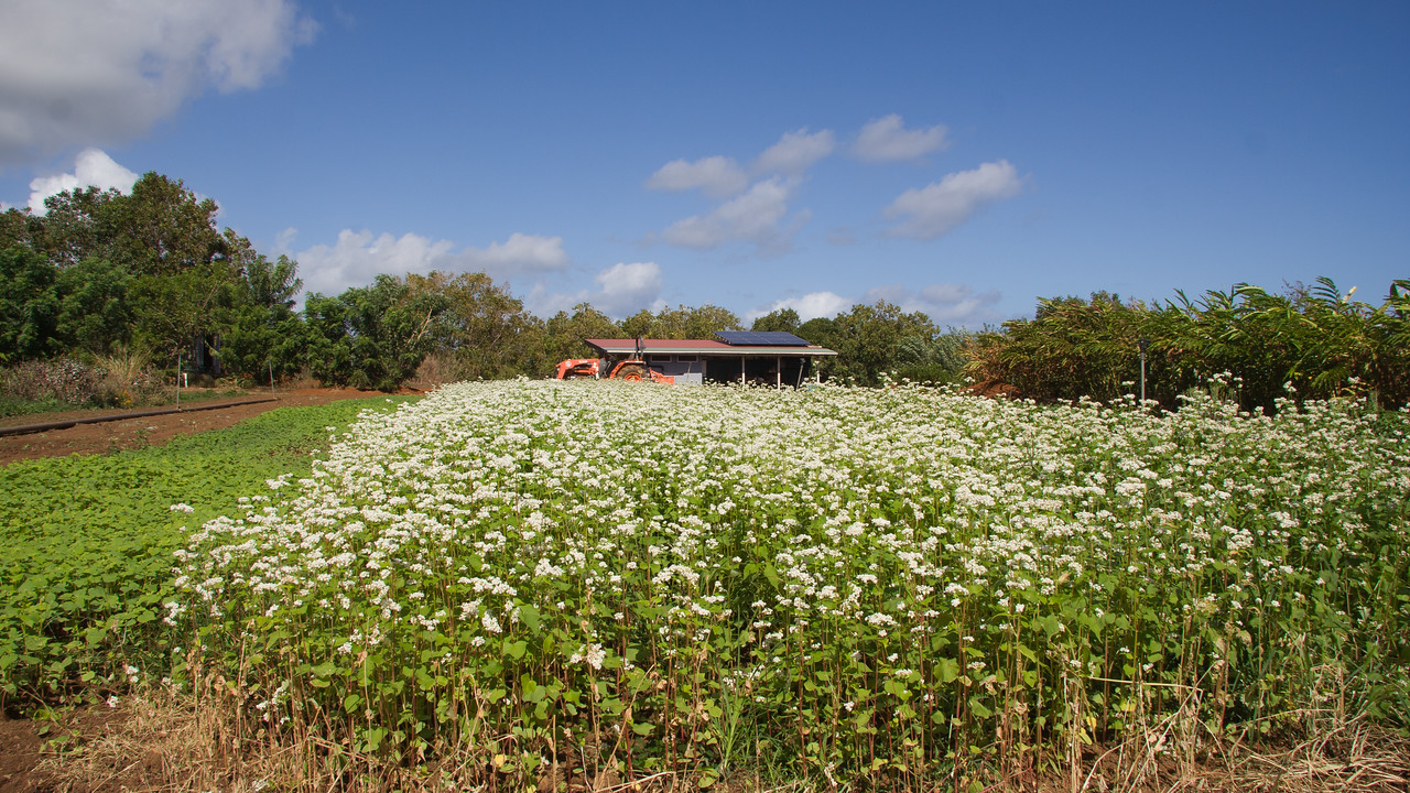Buckwheat, Fagopyrum esculentum, a cultivated plant in Hawaii`i.