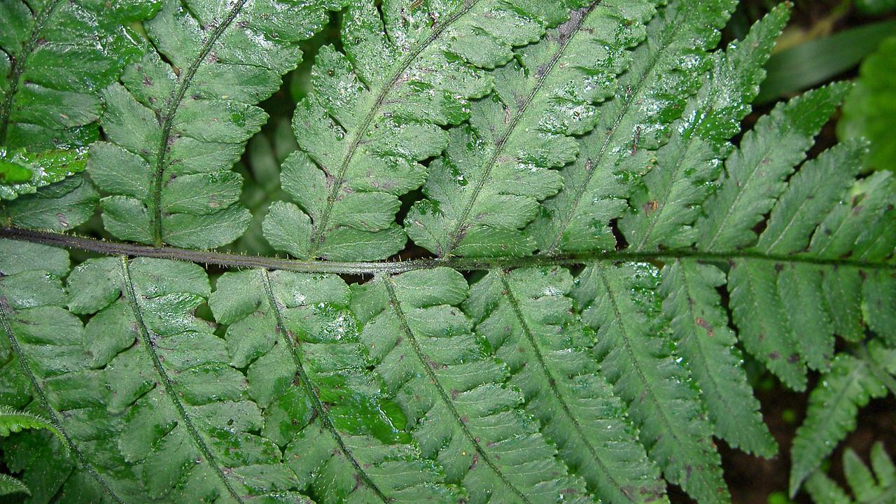 Peterson's spleenwort, Deparia petersenii, a nonnative fern of Hawaii