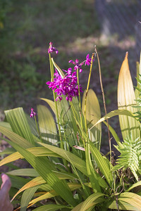 Philippine ground orchid, Spathoglottis plicata, a naturalized and cultivated orchid in Micronesia and other Pacific islands, growing in a schoolard at Walung, Kosrae, FSM