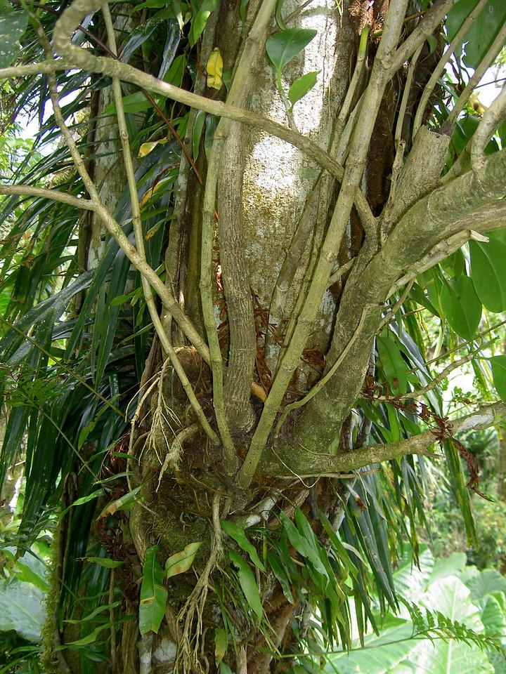Wengú, Fagraea berteriana var. ladronica, a nonnative plant in Guam and Rota.