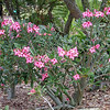 Desert rose, Adenium obesum, a cultivated nonnative plant in Hawaii.