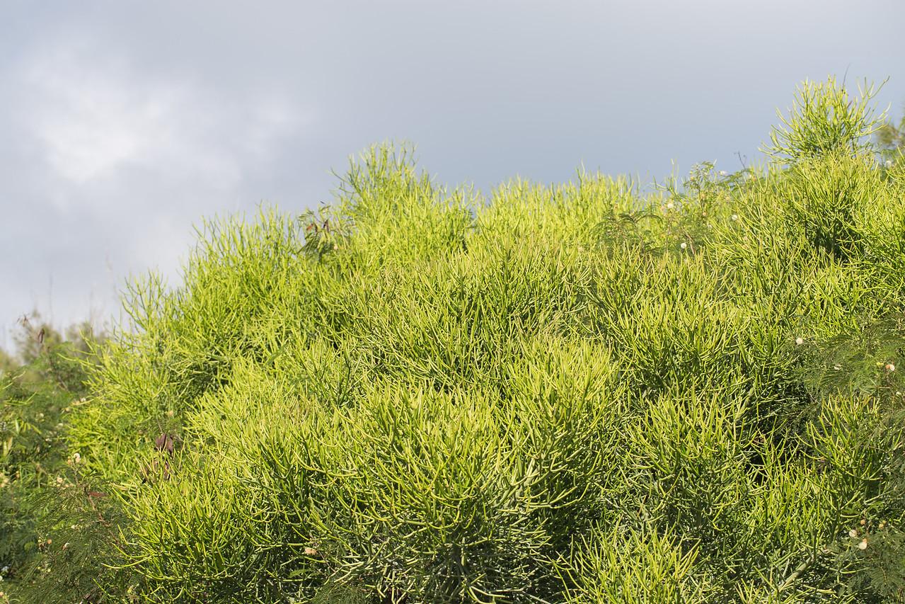 Pencil tree, Euphorbia tirucalli, a nonnative shrub in Hawai`i, this one at Makapu`u Point, O`ahu, Hawai`i