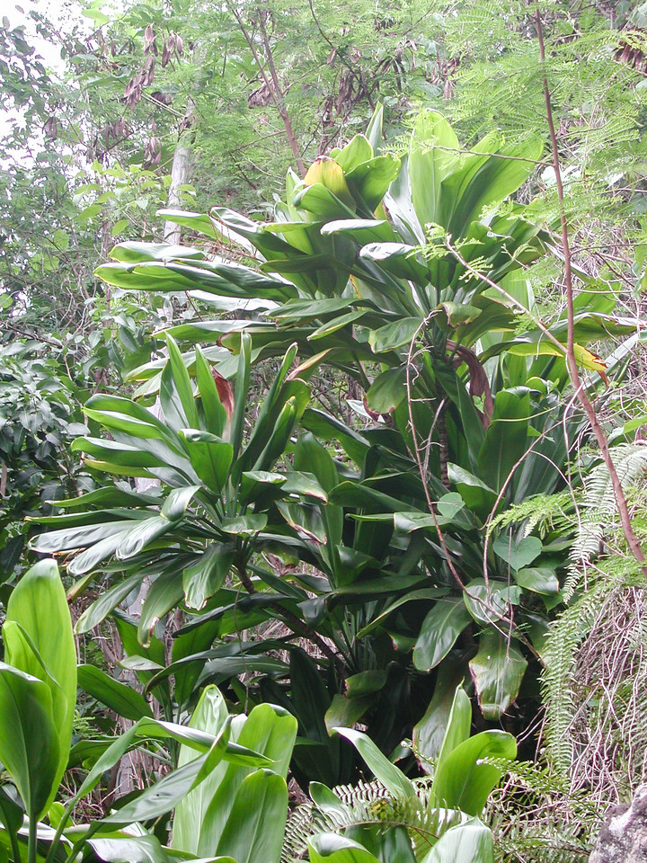 Kī, Cordyline fruticosa, an aboriginal introduction and cultivated plant in Hawaii.