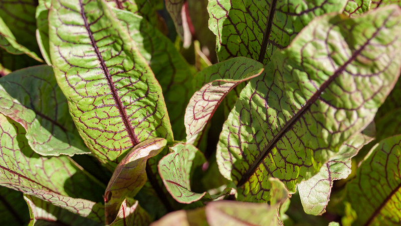 Bloody sorrel, Rumex sanguineus, a cultivated plant of Hawai`i