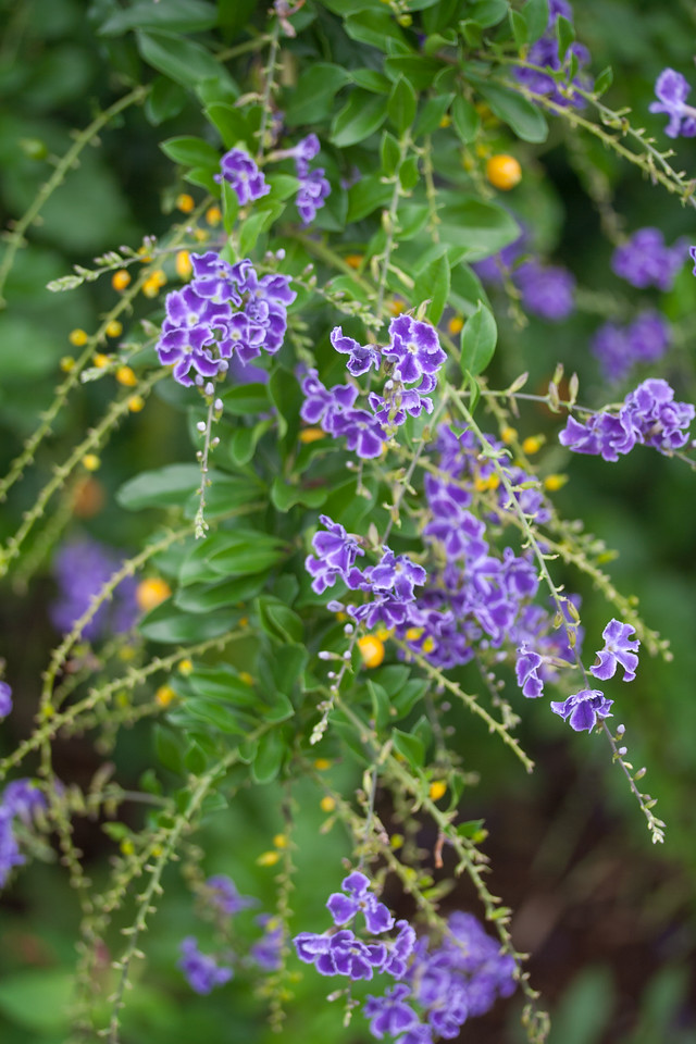Golden dewdrop, Duranta erecta, a nonnative naturalized and cultivated plant of Hawaii