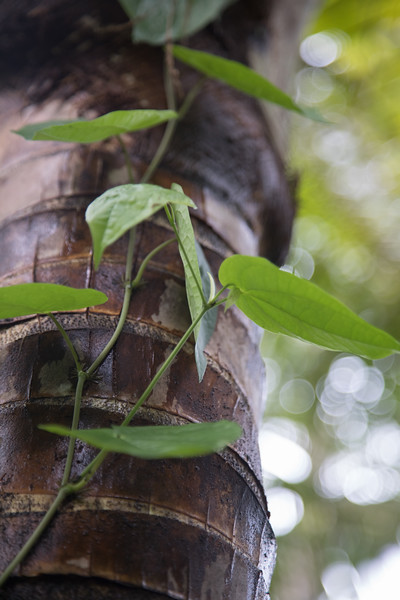 Betel pepper, Piper betle f. densum, a nonnative vine of Micronesia, growing at Nan Madol, Pohnpei, FSM