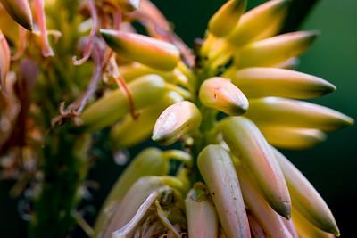 Mozambique tree aloe, Aloe tongaensis, a cultivated plant in Hawai`i.