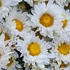 Shasta daisy, Leucanthemum x superbum, a cultivated plant of Hawai`i