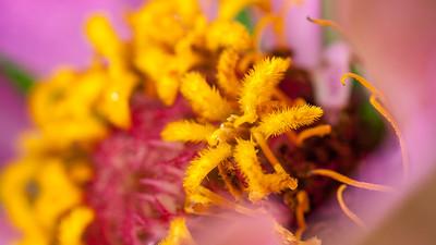 Zinnia, Zinnia elegans, a cultivated garden flower in Hawai`i