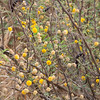 Klu, Acacia farnesiana, an invasive tree of Hawai`i