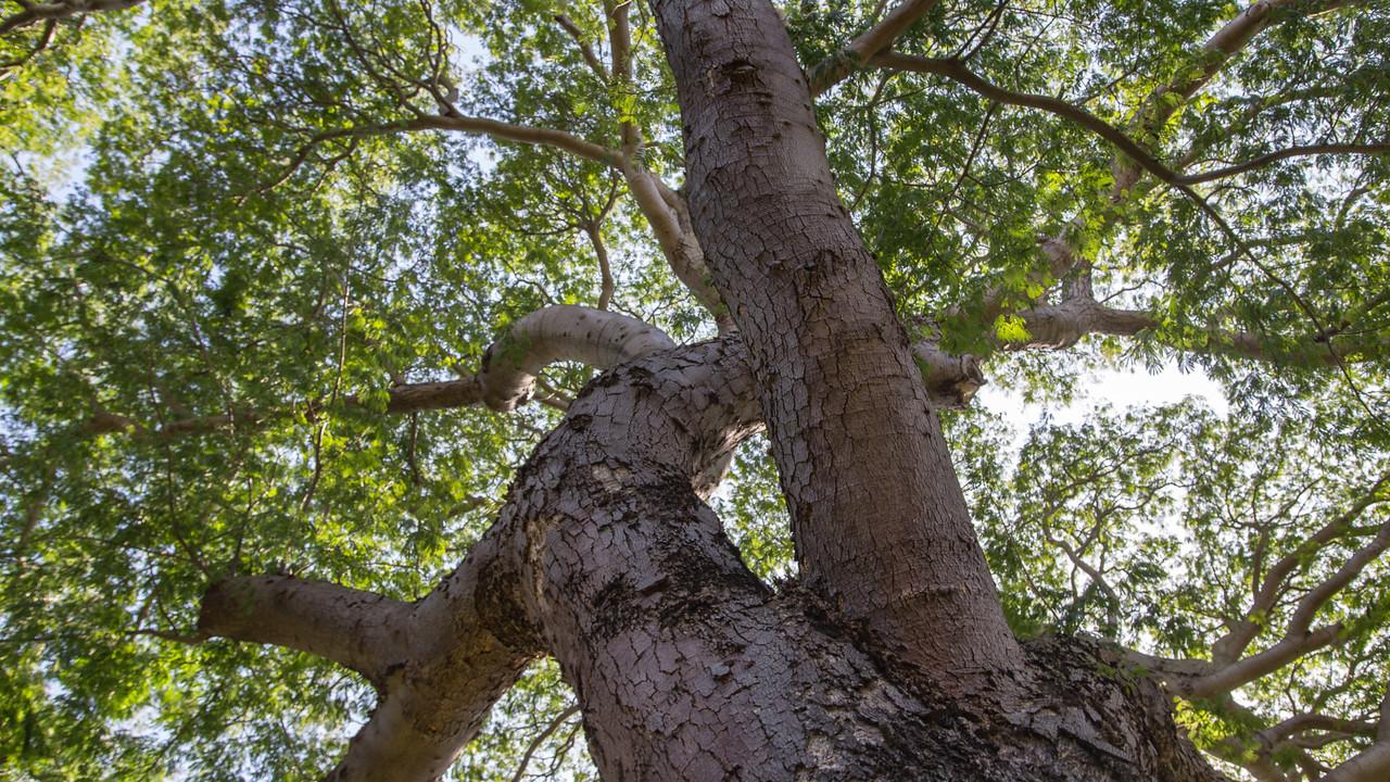 Elephant's ear tree, Enterolobium cyclocarpum, a cultivated tree in Hawai`i, this one growing at Foster Botanical Garden, Honolulu, O`ahu, Hawai`i