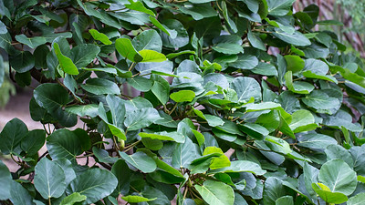 Fig, Ficus vasta, a cultivated plant in Hawai`i, this one growing in Koko Crater Botanical Garden, O`ahu, Hawai`i.