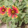 Firewheel, Gaillardia pulchella, a nonnative plant of Hawai`i.