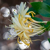 Japanese japonica, Lonicera japonica, a nonnative plant in Hawai`i