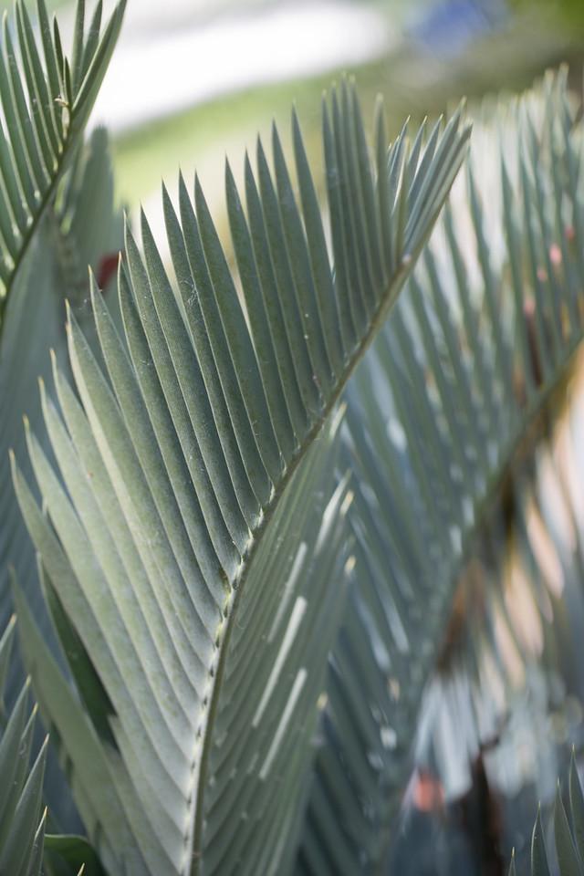 Breadpalm, Encephalartos longifolius, a cultivated cycad in Hawai`i, this one at Foster Botanical Garden, Honolulu, O`ahu, Hawai`i