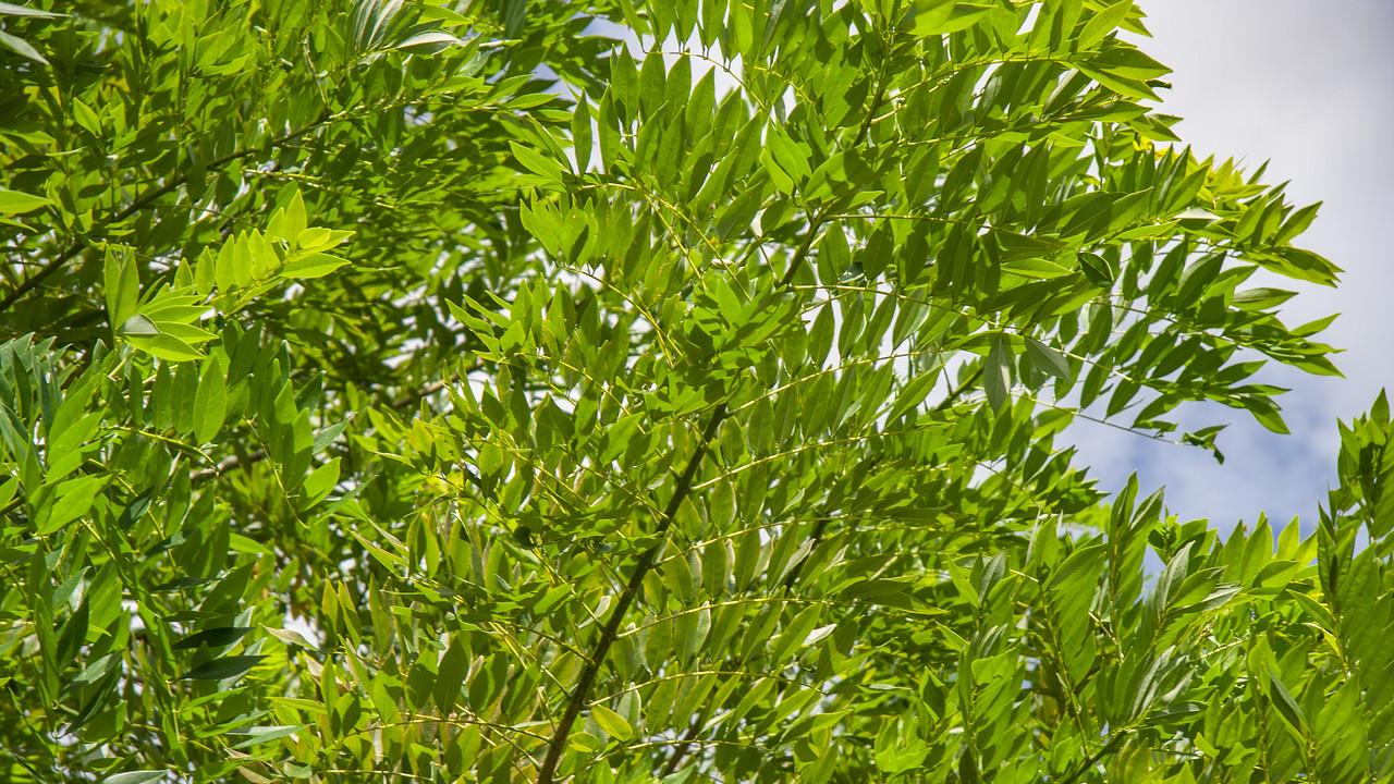 Dalbergia, Dalnbergia species, a cultivated plant in Guam