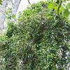 Brazilian jasmine, Jasminum fluminense, a nonnative vine of Guam and Hawai`i
