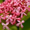 Ixora species, a cultivated plant of Hawai`i, this one growing at Ho`omaluhia Botanical Garden, O`ahu, Hawai`i.