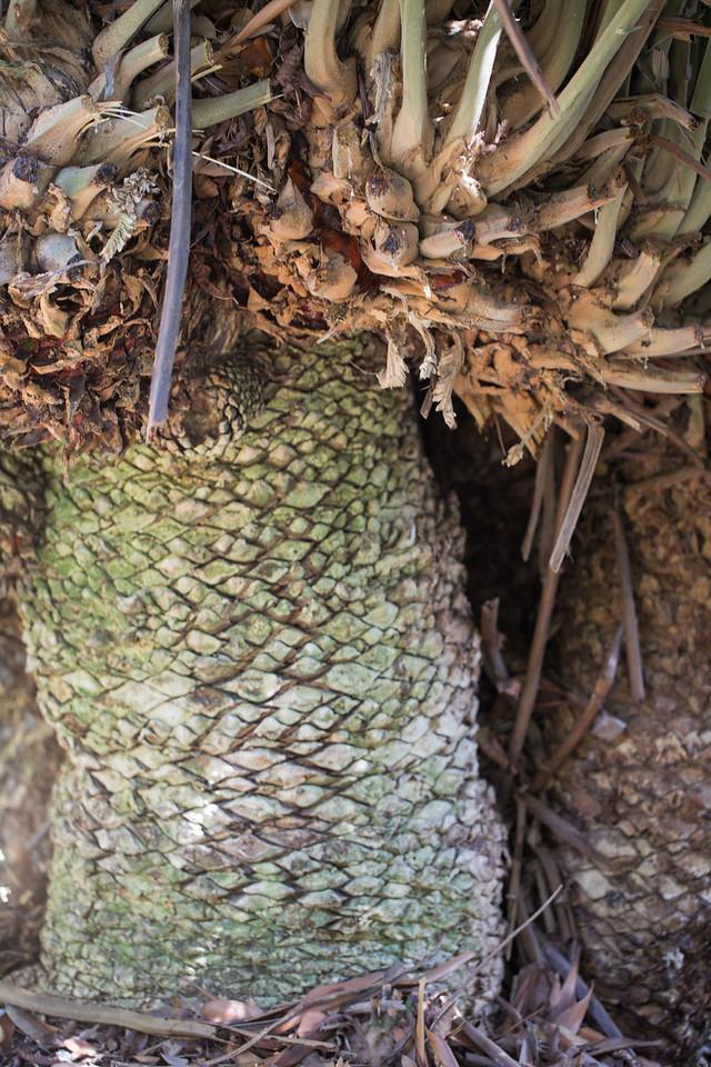 Wood's cycad, Encephalartos woodii, a cultivated cycad in Hawai`i, tis one growing in Foster Botanical Garden, Honolulu, O`ahu, Hawai`i