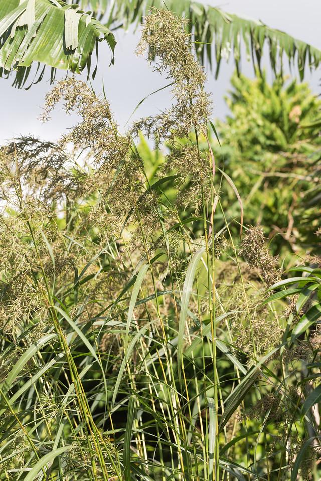 Lemon grass, Cymbopogon citratus, a nonnative cultivated grass in Hawai`i.