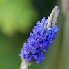 Lavander, Lavandula  pinnata, a cultivated herb in Hawai`i