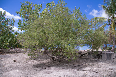 Blue vitex, Vitex trifolia, a nonnative tree in Micronesia, growing in Utwa Ma Marine Protected Area, Kosrae, FSM