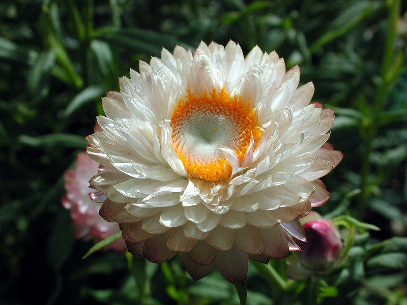 Strawflower, Rhodanthe chlorocephala ssp. rosea, a cultivated plant of Hawai`i