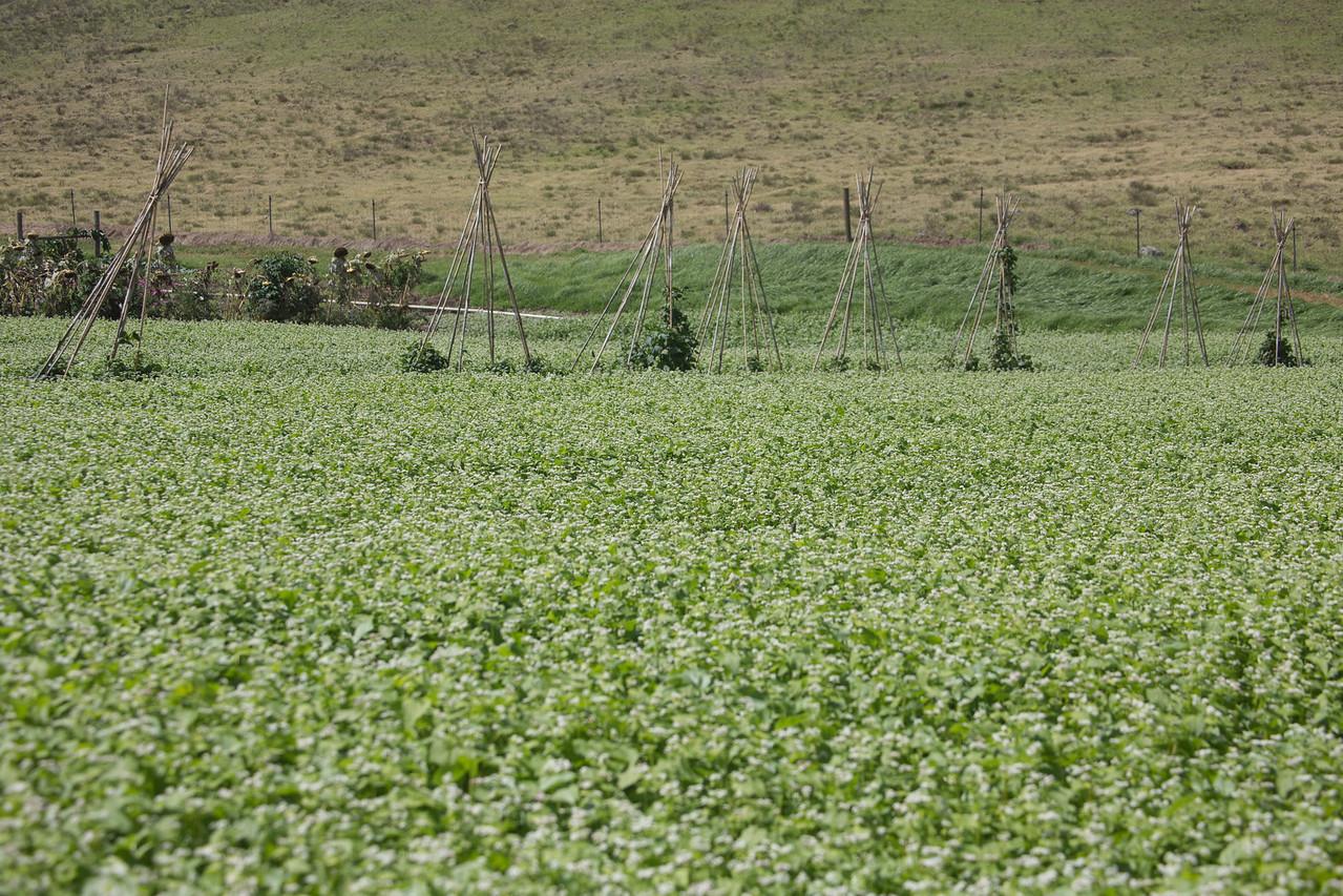 Buckwheat, Fagopyrum esculentum, a cultivated plant in Hawaii`i.