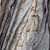 Paperbark, Melaleuca quinquenervia, a nonnative tree in Hawai`i