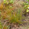 New Zealand rush, Juncus planifolius, a nonnative rush in Hawai`i