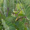 Kalo, Colocasia esculenta 'Bun Long', a cultivated crop of Hawaii.