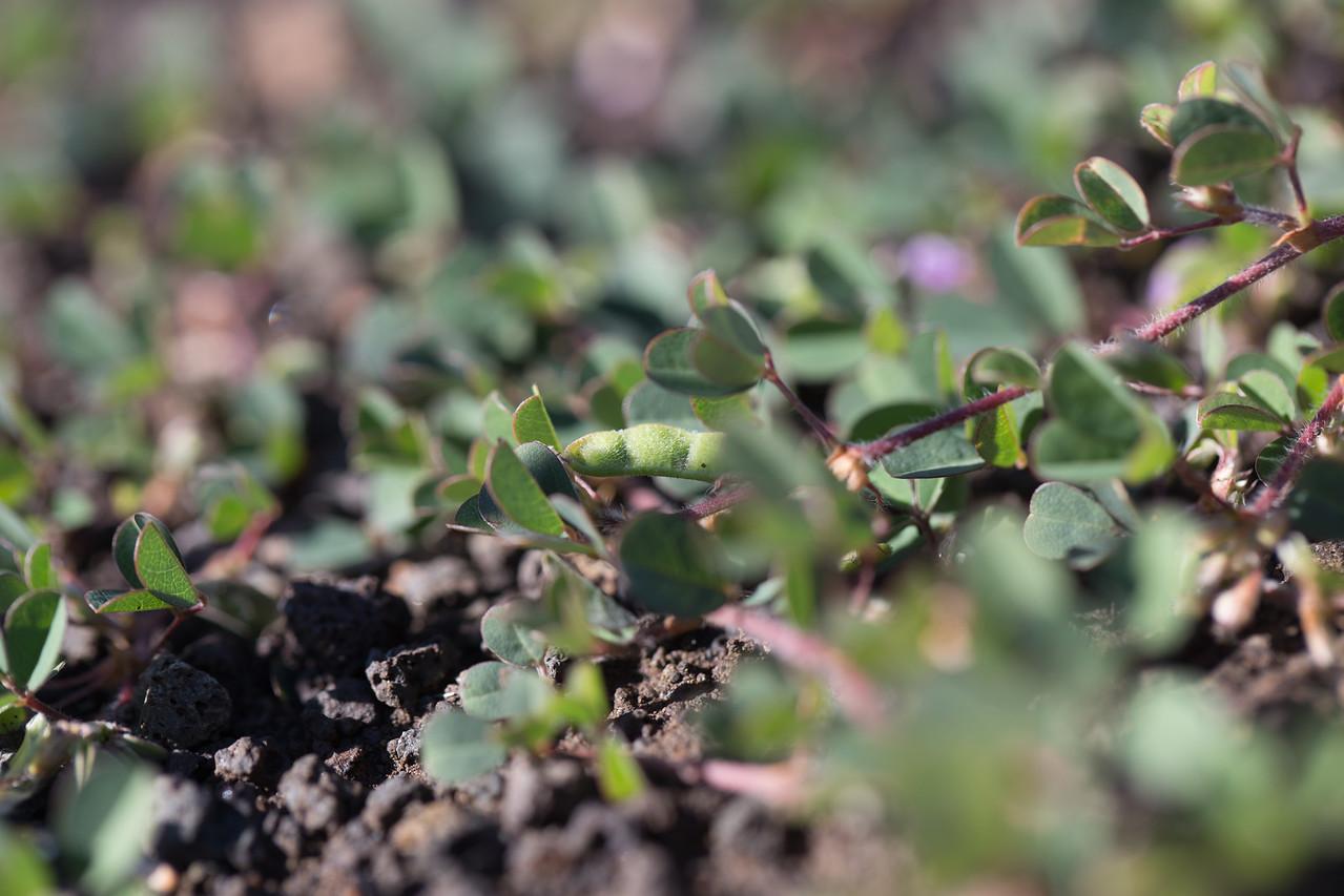 Three-flowered beggarweed, Desmodium triflorum, a nonnative weed of Hawaii