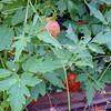 Balloon vine, Cardiospermum grandiflorum, a nonnative vine in Hawaii on O`ahu.