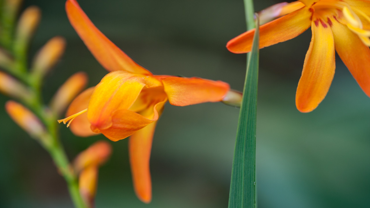 Montbretia, Crocosmia x crocosmiiflora, a nonnative plant in Hawaii.