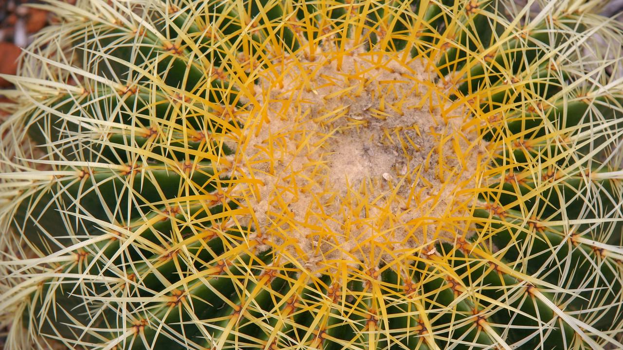Barrel cactus, Echinocactus grusonii, a cultivated cactus in Hawai`i.