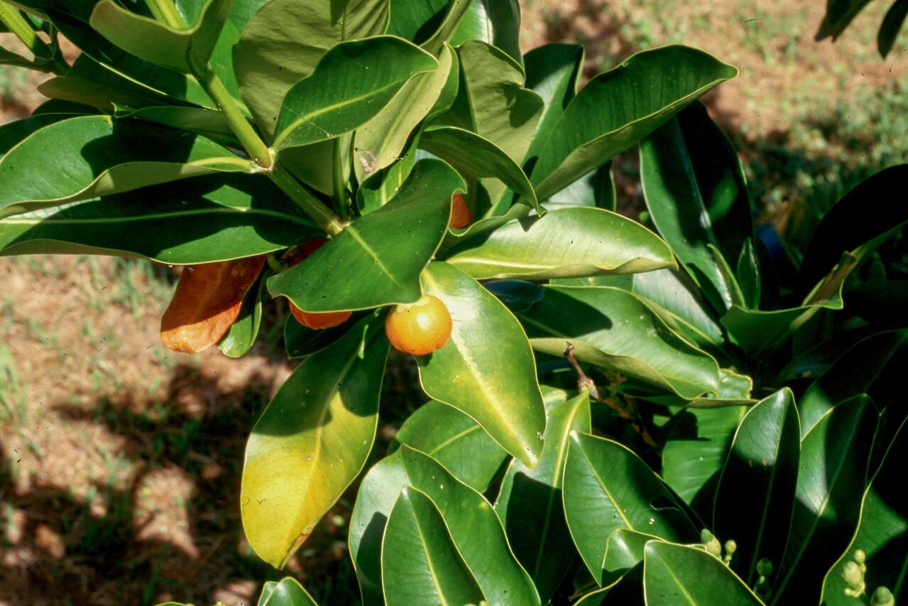 Pua kenikeni, Fagraea berteriana, a cultivated plant in Hawai`i