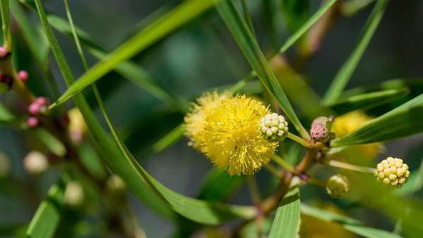 Formosan koa, Acacia confusa, a nonnative, invasive species in Hawaii, Guam and CNMI.