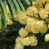Black wattle, Acacia mearnsii, an invasive tree in Hawaii.
