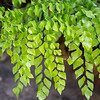 Diamond maidenhair, Adiantum trapeziforme, a cultivated fern in Hawaii.