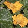 Kabocha, Cucurbita moschata, a cultivated plant in Hawaii.