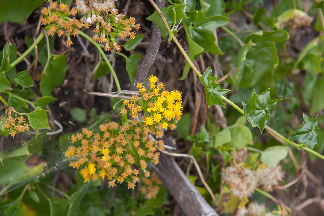 German ivy, Delairea odorata, a nonnative invasive plant of Hawaii