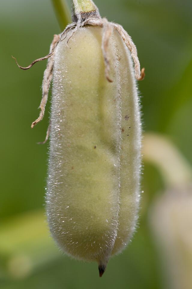 Sunn hemp, Crotalaria juncea, a nonnative plant in Hawaii.