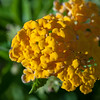 Lakana, Lantana camara, an invasive species in the Guam, Rota and the Hawaiian islands
