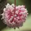 Ixora longistipula, a cultivated plant of Hawai`i, this one growing at Ho`omaluhia Botanical Garden, O`ahu, Hawai`i