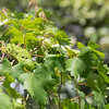 Grape, Vitis vinifera x rotundifolia, a cultivated grape in Hawai`i